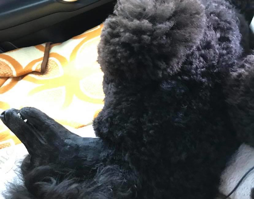 Dinoval nincs gond autózás közben - indulás után 3 perccel már horpaszt :-)