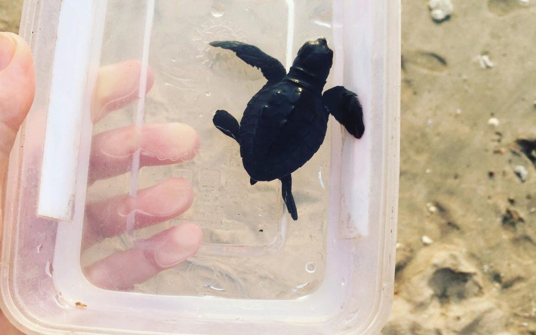 Bali teknősöm útra kész